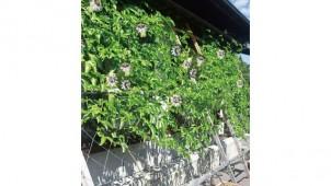 プラネット、緑のカーテン用パッションフルーツ苗発売