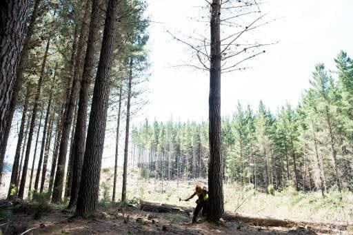 ウッドワン、NZの森林取得30年 自社植林の木材、高品質で勝負