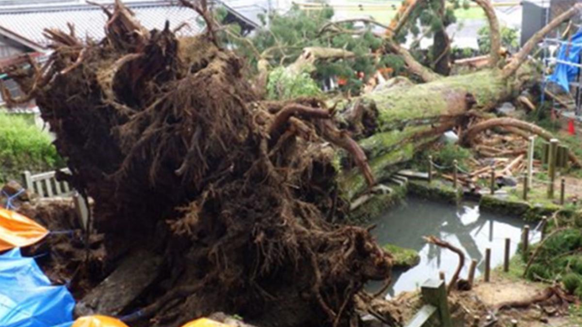 岐阜・大湫町の大杉倒木、原因は根系に 研究グループ調査